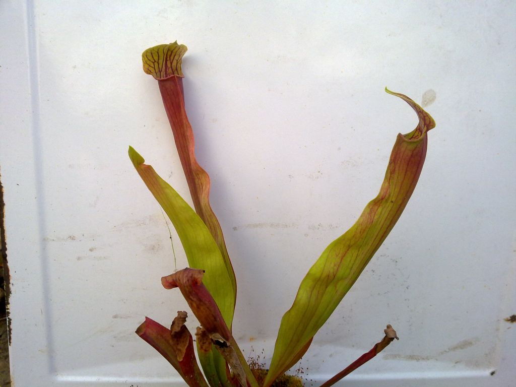 Sarracenia alata red throat x oreophila