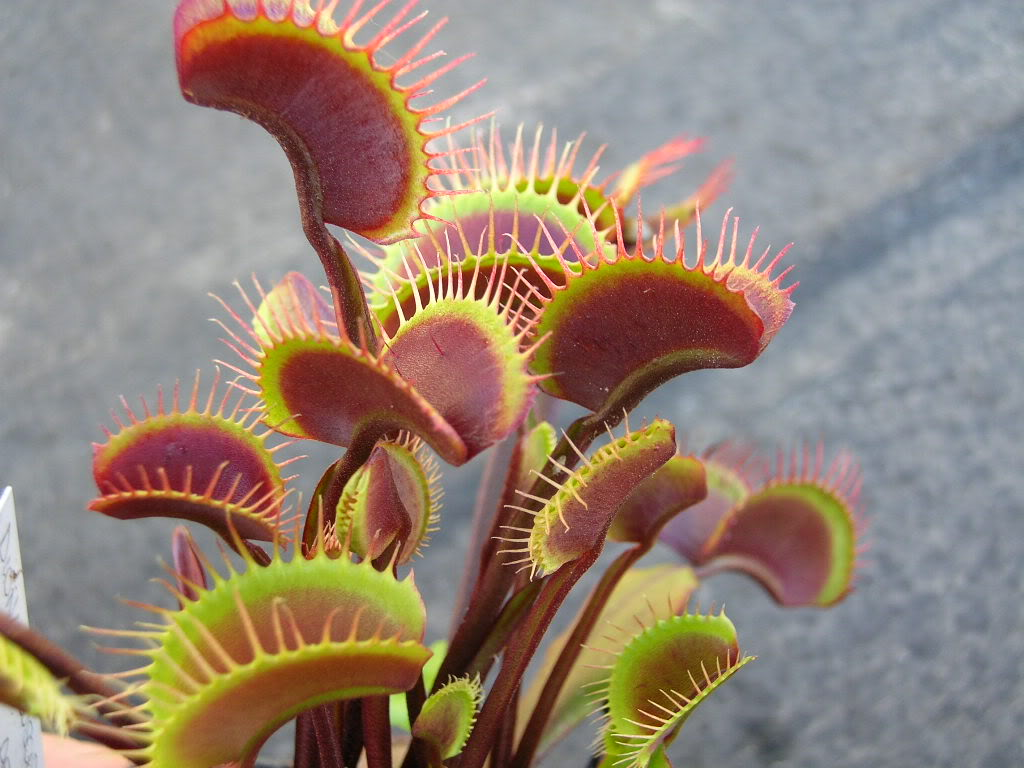 Dionaea 'Royal red'